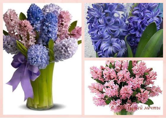 цветы гиацинты как ухаживать
