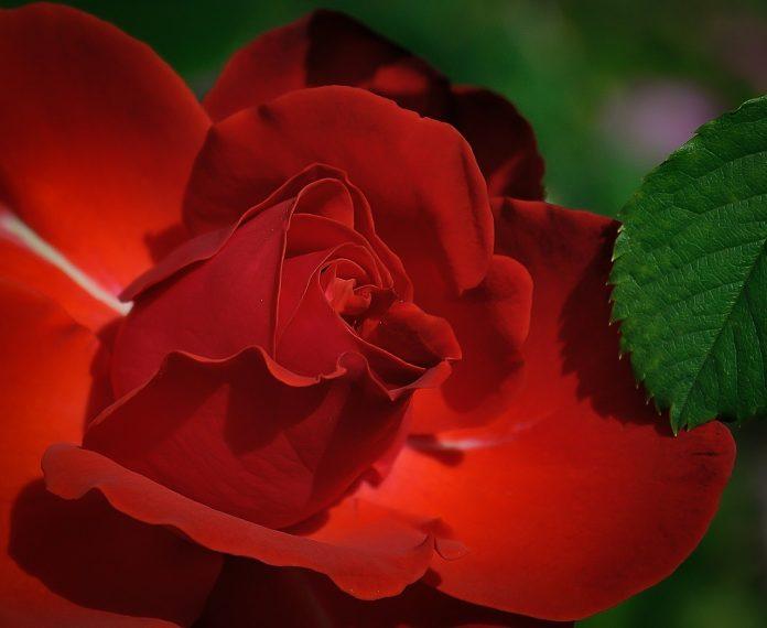 Вкус турецкой розы